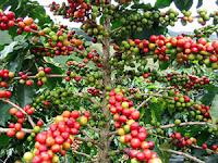 Кафеен храст