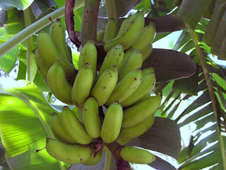 Image result for pisang badak