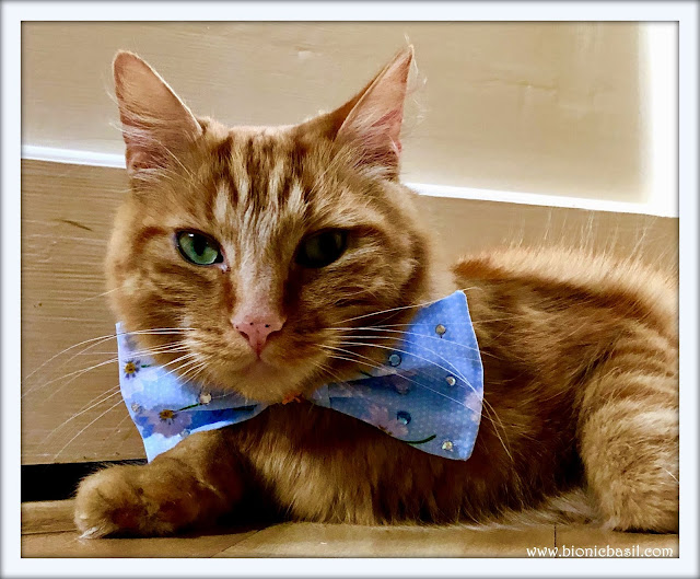 Fudge in Sauce's Bow Tie @BionicBasil® The Pet Parade