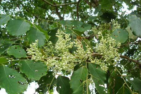 Makar Rashi Tree – Which is the tree associated with Makara