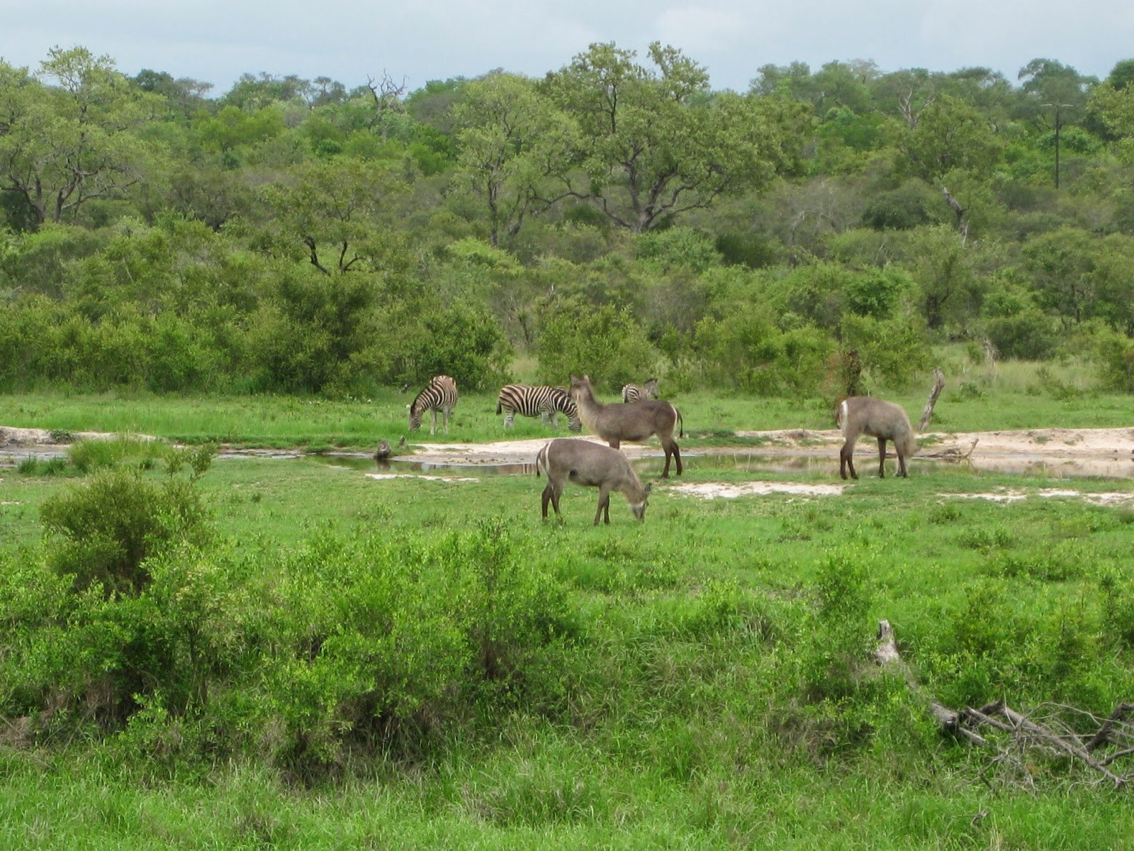 Sabi Sands - Animals gather at the watering hole