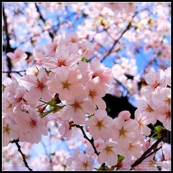 Bunga Sakura Cerita Istimewa
