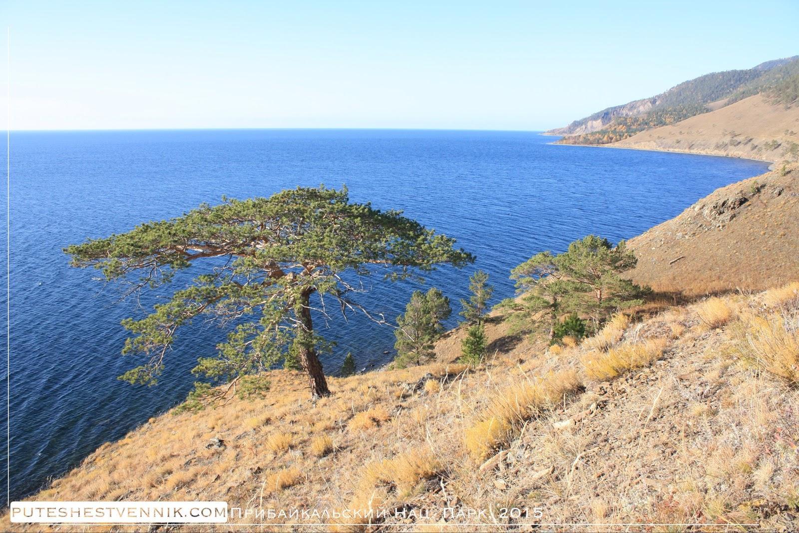 Сосна на берегу Байкала