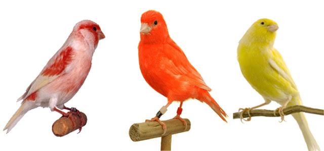 انواع طيور الكناري