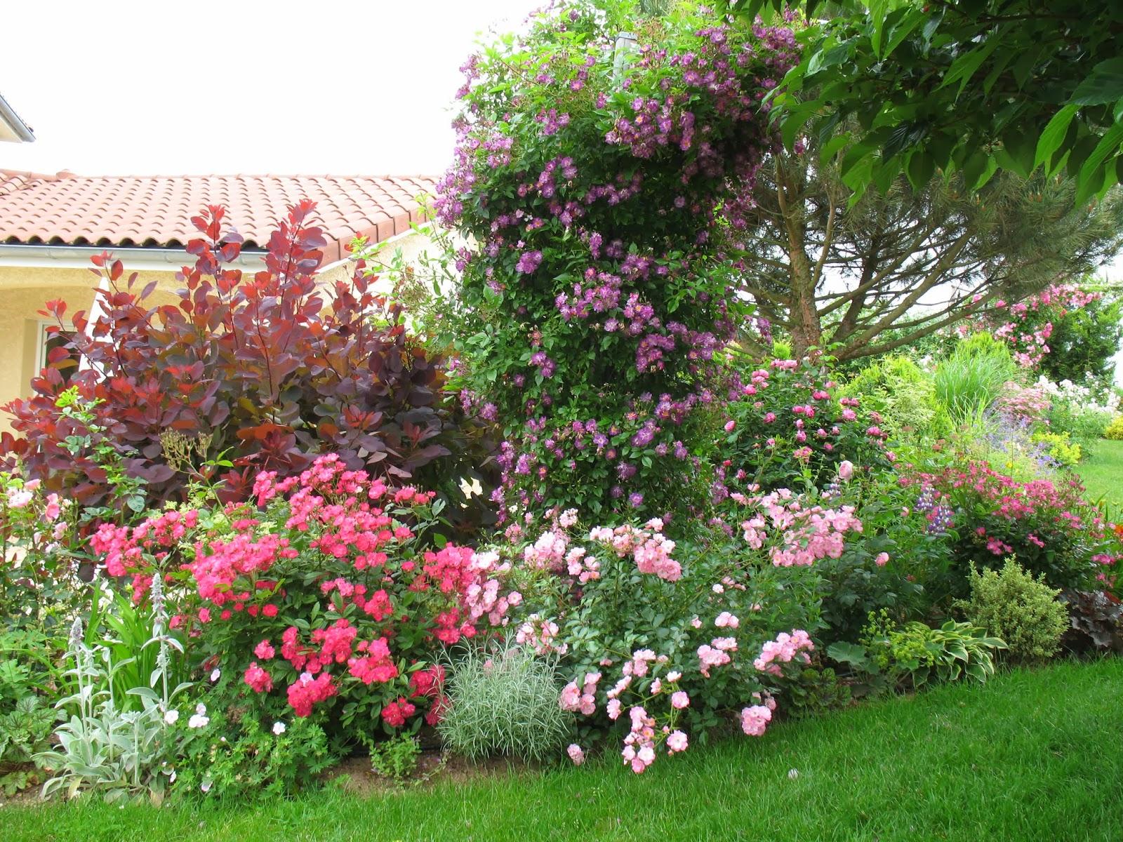 roses du jardin ch neland evolution du rosier veilchenblau. Black Bedroom Furniture Sets. Home Design Ideas