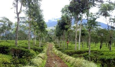 panorama wisata kebun teh wonosari malang