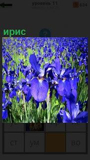 Большое поле, на котором выращивают ирис синего цвета