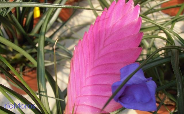 Flor de tilandsia, barba española Tillandsia cyanea