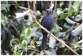 https://bioclicetphotos.blogspot.fr/search/label/Gobemouche%20drongo%20-%20Melaenornis%20edolioides