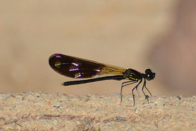 Aristocypha fenestrella