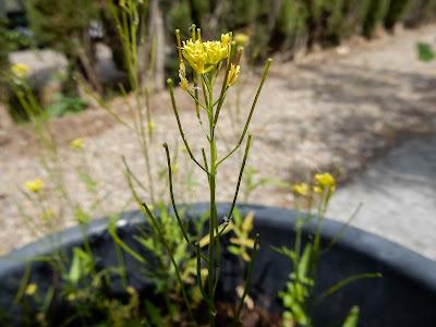Sisymbrium orientale, Brassicaceae