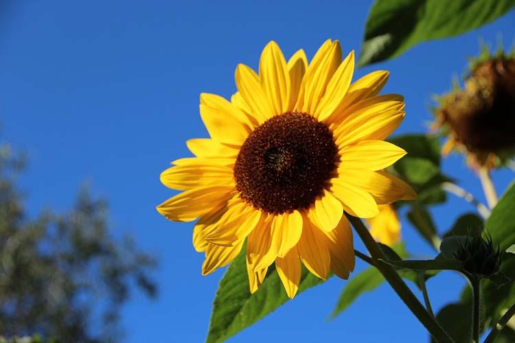 Mengenal Khasiat Herbal Dari Bunga Matahari