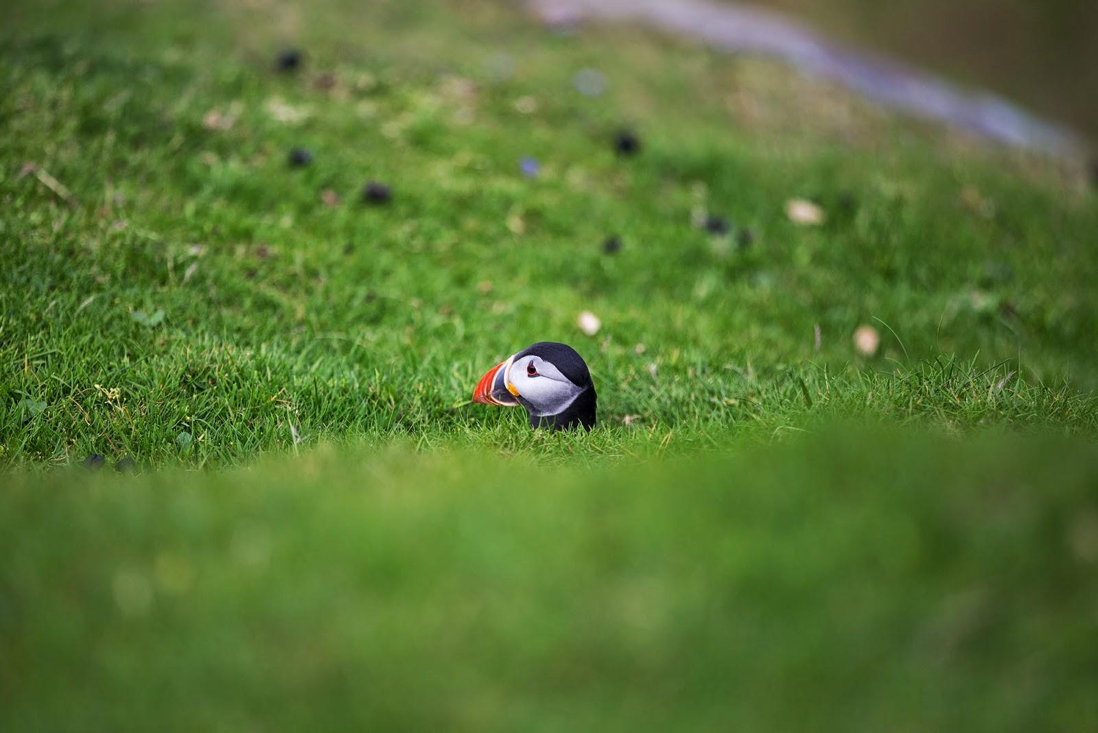 Puffin in The Shetland Islands, Scotland