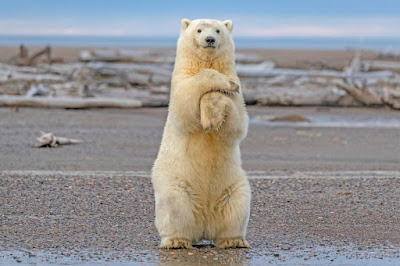 interesting facts about polar bear