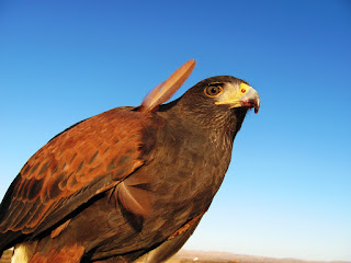 A Harris hawk named Etta