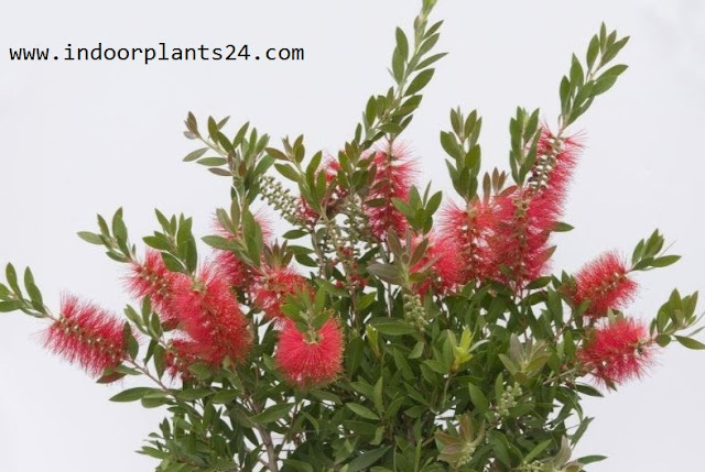 Callistemon Citrinus indoor house plant picture