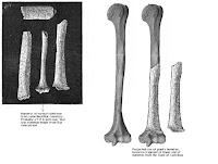 Comparación tamaño huesos gigante Castelnau - húmero humano normal