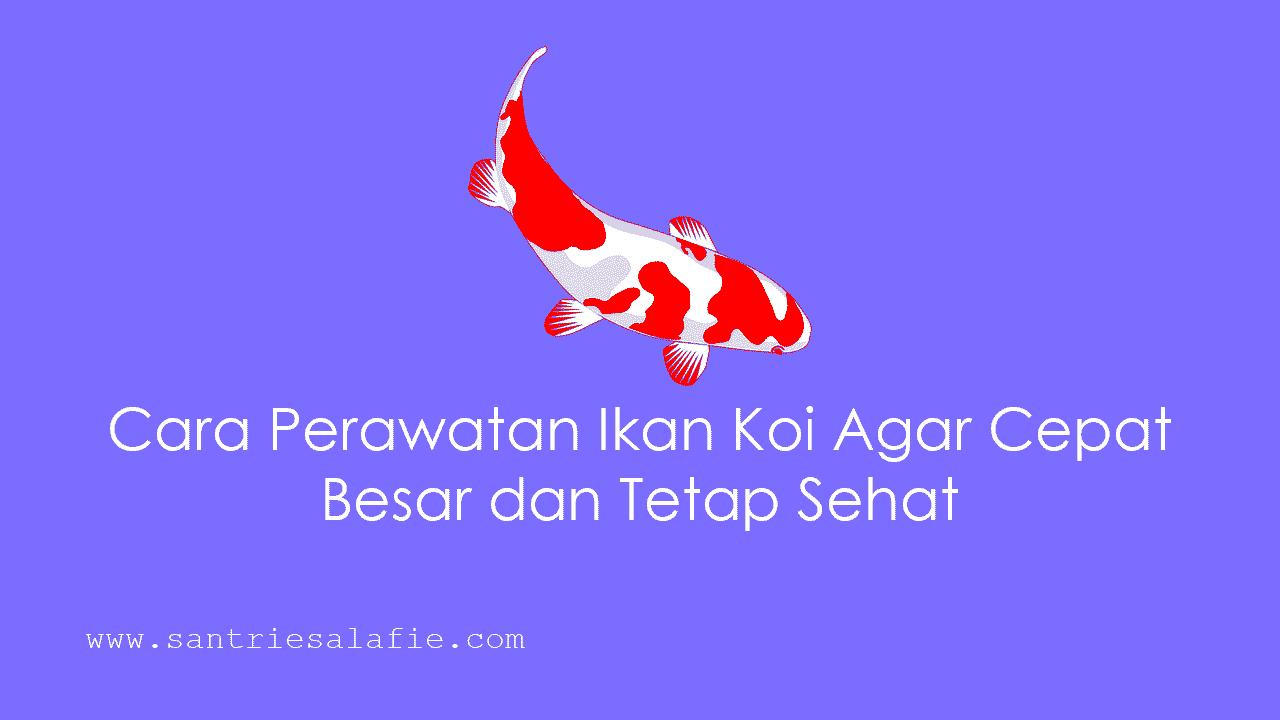 Cara Budidaya Ikan Koi Agar Cepat Besar - InfoAkuakultur.com