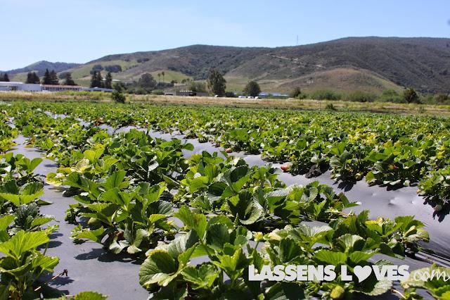 Green+Gold+Organic+Farm, organic+strawberries