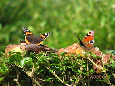 Rottend en rot fruit voor vlinders: rotte en overrijpe appels en vooral pruimen en peren zijn ideaal