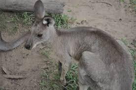 kanguru ve koalalariyla ünlü olan ülke
