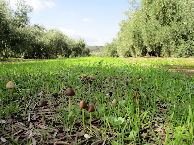 Wild Mushrooms, Setas, Olive Groves Sierra Sur de Jaen Andalusia Spain