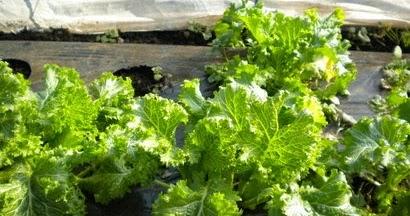 Seminte si plante de gradina hobby mustar oriental wasabi na for Plante wasabi