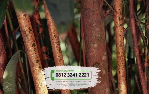 Jual Bibit & Benih Biji Pohon Kelor