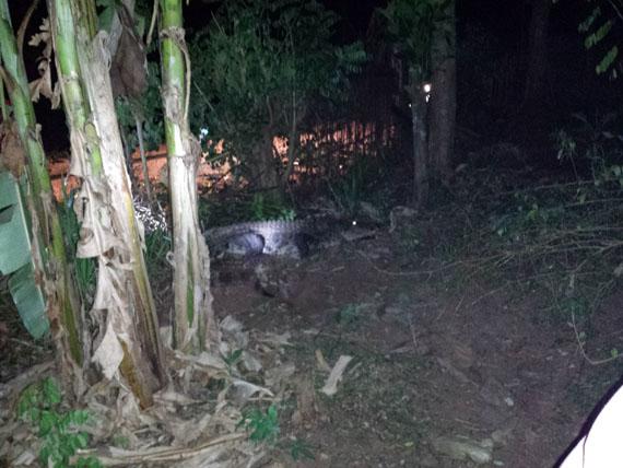 Crocodile caught in Kekirawa - (Watch Video)