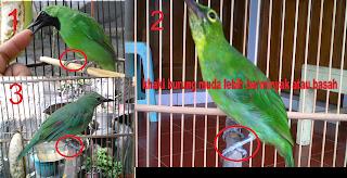 Cara membedakan cucak hijau jantan dan betina trotolan