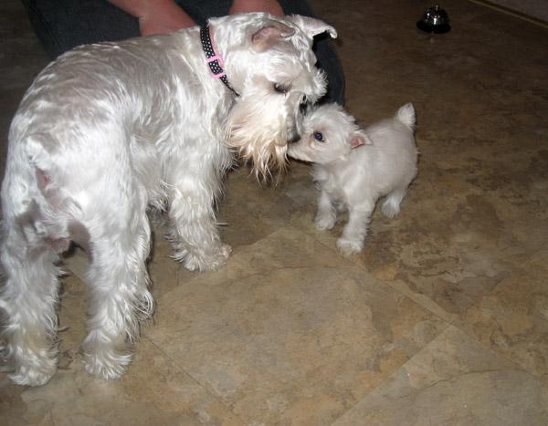 Miniature Blue English Bulldog Puppies