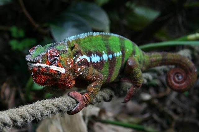 1 | Chameleon