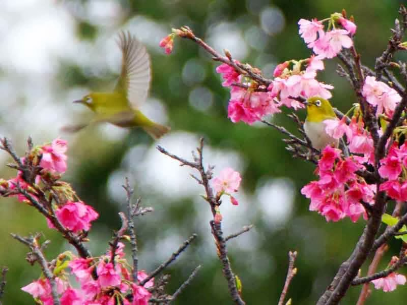 birds in cherry blossoms, one in flight, Japanese White Eyes