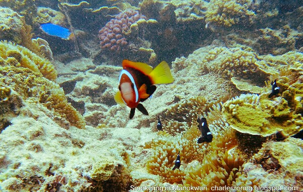 Clownfish and Three Spots Dascyllus