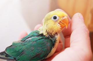 Anakkan Burung Lovebrid Calon Juara - Ciri Anakan Lovebird Berkualitas Unggul