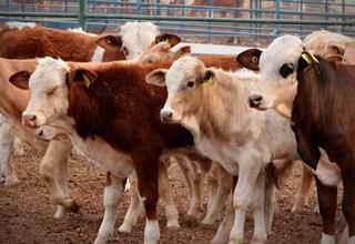 """En Gaceta oficial Nº 41267 """"Prohíben movilización de animales bovinos en pie hacia las regiones fronterizas"""""""
