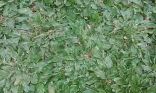 Jual Rumput Gajah Mini Murah di Cimanggu,Jual Rumput Taman,Rumput Gajah Mini di Padjadjaran,Harga Rumput Gajah Mini