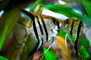 Dunia Ikan Hias - Zebra Manfish