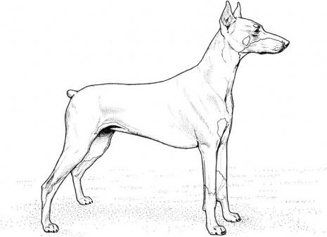 Mascotas en el hogar fotos y dibujos de perro doberman for Doberman coloring pages