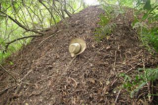 Megapodius reinwardt nest, Wangetti Beach