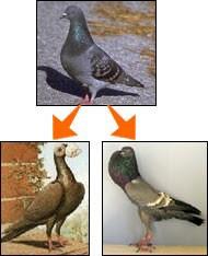 evolusi darwin burung dara