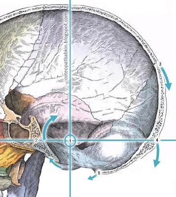 Ось затылочной кости. 1 — ось, 2 — СБС, 3, 4, 5 - движение опорных анатомических ориентиров затылочной кости на фазе флексии