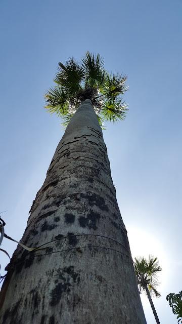 Árvore Buriti, que dá nome ao fervedouro