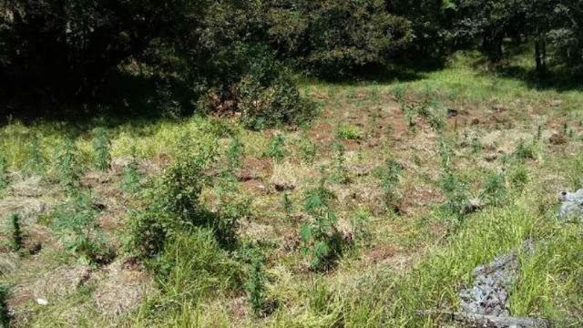 Ακόμη δύο φυτείες με συνολικά 342 δενδρύλλια κάνναβης, εντοπίστηκαν σε δύσβατη και δασώδη περιοχή στα ελληνοαλβανικά σύνορα