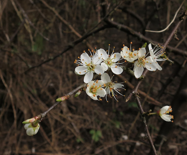Blackthorn blossoms - white and showing stamens