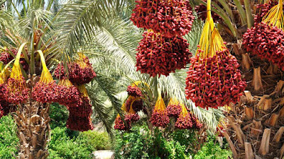 dates palm fruit tree