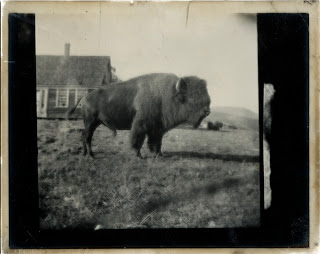A black and white photograph of a bison.