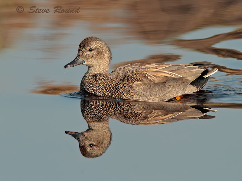 Gadwall, Duck, Bird