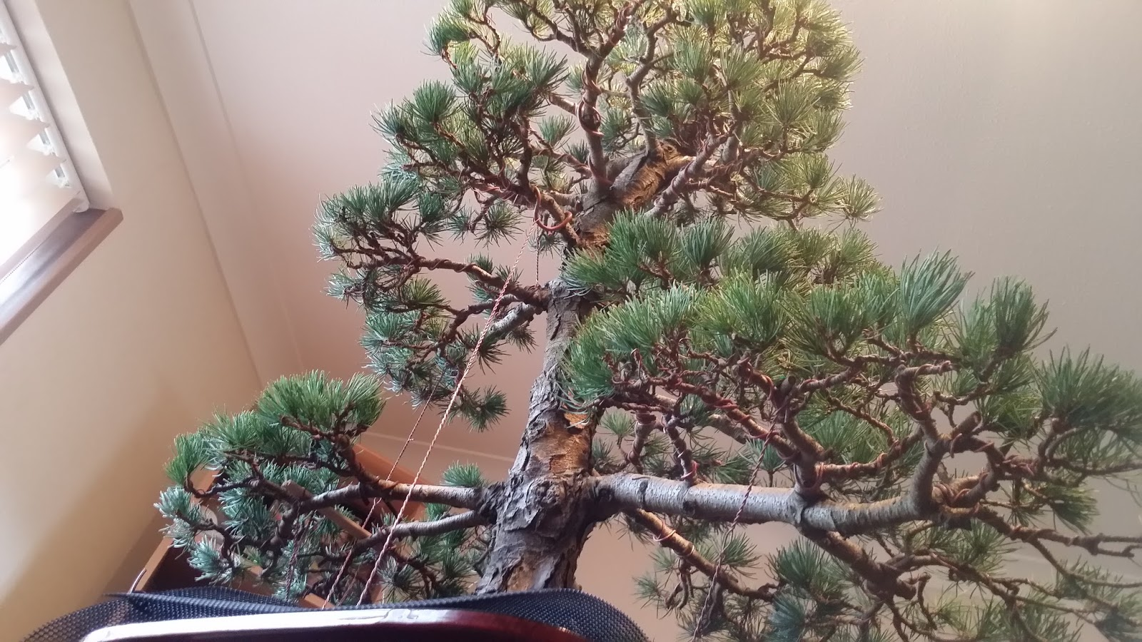 dj bonsai a lovely japanese white pine pt 2 rh dj bonsai blogspot com