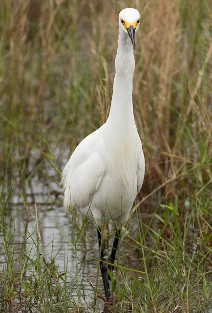 Snowy Egret - Merritt Island, Florida